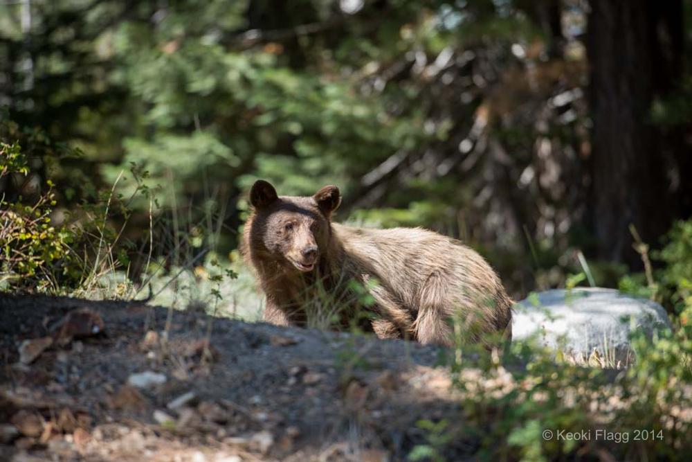 Keoki_Bears00001