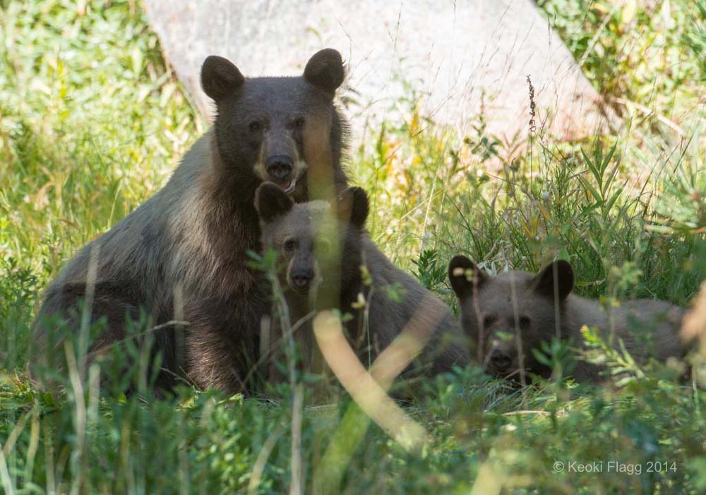 Keoki_Bears00004